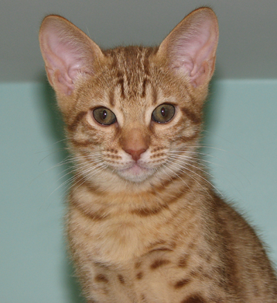 Cheetoh Cat For Sale Florida